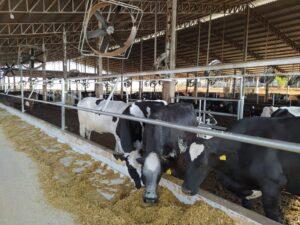 Propriedade de 86 hectares tem mais de 300 vacas em lactação. (Foto: Ricardo Miranda)