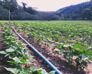 Conheça o ranqueamento para ter acesso aos benefícios da Conab (Foto: Washington Bonifácio)