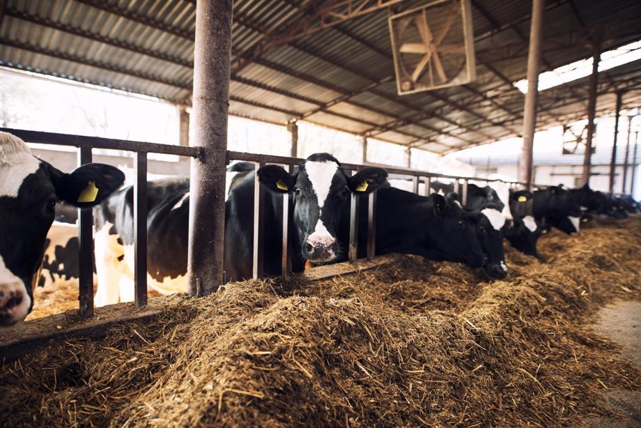 Vacas comendo no cocho