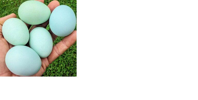 Cruzamento feito no Criatório Neves. Ovos azuis de galinhas da raça Azur, GLZ e Ameraucanas. (Foto: Criatório Neves)