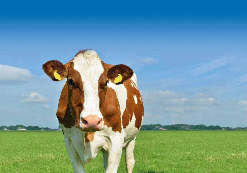 Vaca holadeza